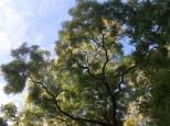 hemelboom (3)